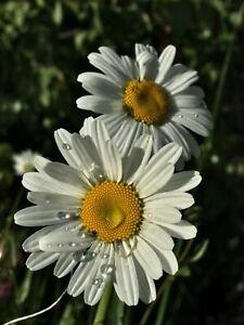 Photo Picture Nature Flower Chamomile