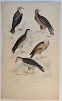 Greifvögel / Le Balbuzar - antik Kolor-Steindruck/Litho um 1800 - Buffon
