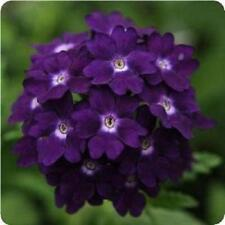 Verbena Tuscany Violet Eye Seed Low Fast Growing Annual Free Flowering Pretty