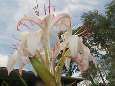 Crinum Lily, Sundance, medium-size bulb, NEW, large flowers, RARE
