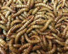 New listing 500 Giant Mealworms. Free shipping!