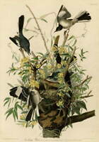 John James Audubon Mocking Bird Poster Reproduction Giclee Canvas Print