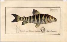 Fische-Angeln-Kupferstich Bloch 1782 Salmo Fasciatus - Lachs - Salmon - Fisch