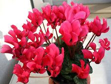 Cyclamen persicum Terry  Perla Fon Zehlendorf Flower Seeds indoor from Ukraine