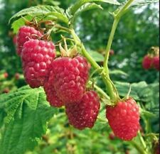 5 x Raspberry Glen Clova Bare Root Big Red Juicy Fruits Bush Plant