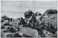 C4595 Otaria orsina - Arctocephalus ursinus - Stampa - 1930 Vintage print