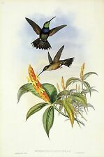 "1990 Vintage HUMMINGBIRD #58 ""BLUE BREAST"" STUNNING GOULD COLOR Art Lithograph"