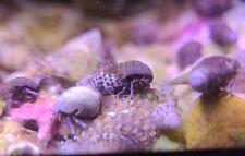Robbie's Corals 25 Small Blue Leg Hermit Crabs Reef Safe