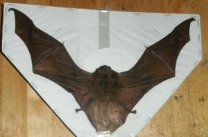 MINIOPTERUS MEDIUS INTERMEDIATE LONG FINGERED SPREAD BAT INDONESIAN TAXIDERMY