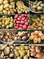 Seed Potatoes Red First Early Second Early Main Crop