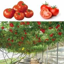 Hot 50pcs New Rare Seeds Sweet Huge Tree Giant Tomato Fruit Vegetable Seeds
