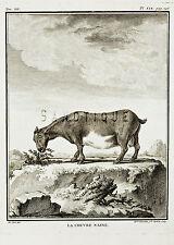 """De Seve's Animals (Buffon) - """"LA CHEVRE NAINE"""" - Copper Engraving - 1760"""
