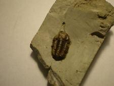 ENGLISH SILURIAN Trilobite EOPHACOPS musheni