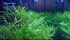 Water Sprite - Live Aquarium Plants