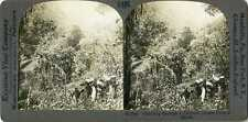 Africa MAN RIFLE PORTERS CARRY SUPPLIES IN JUNGLE Stereoview 17067 T486 19624 fx