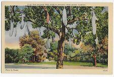 Miami Beach FL Sausage Tree Florida Linen Vintage Postcard