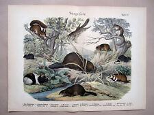 1868 Hanselmann Hc Lithograph squirrel, marmot, rat, mouse, hamster, beaver, .