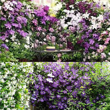50pcs/Pack 24 Colors Mixed Clematis Climbing Plants Seeds Flower Garden Decor