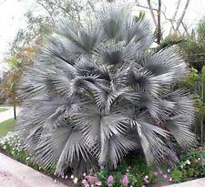 Brahea armata Gray Goddess Palm 10 seeds