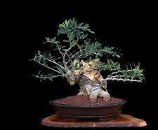 BONSAI TREE OLD COLLECTED OLIVE with 4 inch TRUNK in CLAY POT
