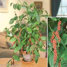Bush Black Pepper High yield Dwarf Variety  Quality 20 Seeds from Kerala