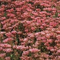 Sedum- Purple Carpet- 100 Seeds- BOGO 50% off SALE