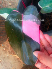 """Rare PHILODENDRON """"Pink Princess Variegated"""" 3 Color Variegated Leaf +Free Phyto"""