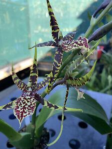 Orchid Oncidium., Bakerara Sea Snake 'Unforgettable' In Flowers.