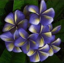 "5pcs Real Fresh Plumeria Rubra seeds Frangipani Lilavadee Flower ""Sky"" #P04"