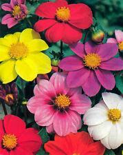 FLOWER DAHLIA DWARF PATIO MIGNON MIXED 1500 FINEST BULK SEEDS