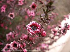 300 SEEDS,'MANUKA' Leptospermum scoparium,honey,tea tree,bush tucker,native