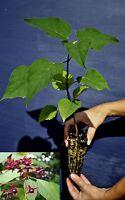 CLERODENDRUM TRICHOTOMUM alveolo Clerodendro pianta Harlequin glorybowe plant