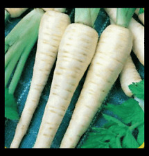 Parsnip 100 - 2000 Seeds Improved Hollow Crown Heirloom Creamy Bulk Nutty DIY