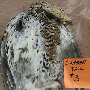 Sharpe tailed Grouse large #3 salted skin for Taxidermy