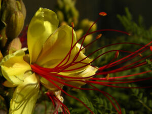 Yellow Desert Bird Of Paradise (caesalpinia gillesii) 6 Reliable Viable Seeds