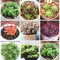 Crassula Bonsai Raw Stone Cactus Exotic 100 PCS Seeds Fleshy Plants Garden NEW N