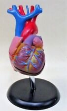 anatomical model HUMAN HEART 2 piece display with stand