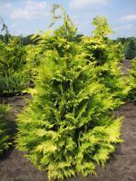 Chamaecyparis lawsoniana 'Golden Wonder' - gelbe Scheinzypresse 'Golden Wonder'