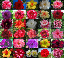 """NEW Adenium Obesum """"identified by color"""" 1,050 Seeds 30 Types!"""