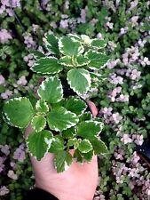 VARIEGATED SWEDISH IVY(PLECTRANTHUS COLEOIDES MARGINATUS) 4 PLANTS W/ FREE SHIP
