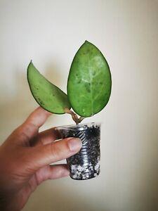 Hoya vitellina fusco marginata rare  rooted house plant waxplant