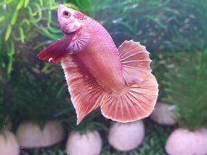 Live Fish : Rose Gold  Betta  Half Moon Prakat (HM PK) short tail: Male