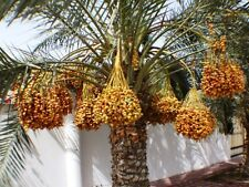 (2) Medjool Date Palm Trees Tree Seedling Fruit Phoenix dactylifera Food Plants