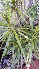 5 Madagascar Dragon Tree Cuttings