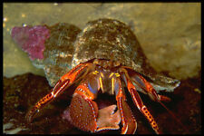 427095 Colorful Hermit Crab A4 Photo Print