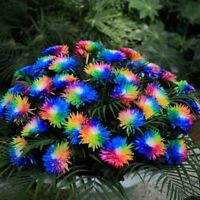200 PCS Seeds Rainbow Chrysanthemum Plants Bonsai Perennial Flowers Home Garden