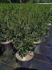 Taxus baccata Rushmore 30-40, kurznadelige Eibe, max. 2m hoch / 1m breit