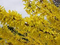 FORSYTHIA VIRIDISSIMA alveolo Forsizia  Forsythia bellissima pianta fiori gialli