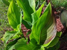 LIVE Canna Plant - 2-3 Eyed Bulbs with roots - 'Cleopatra' Variegated Foliage