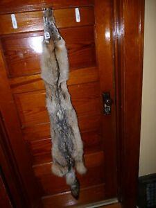 BEAUTIFUL tanned COYOTE fur pelt skin taxidermy cabin native CRAFT C8 COLLARS